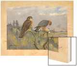 A Painting of an Adult Male and Immature Female Pigeon Hawk Wood Print by Allan Brooks