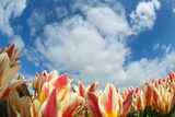 Tulip Field Close-Up with Blue Sky and Clouds Photographic Print by  AndreAnita