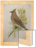A Painting of a Cedar Waxwing Perched on a Tree Branch Prints by Louis Agassi Fuertes