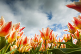 Tulip Field in Holland Photographic Print by  AndreAnita