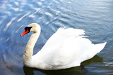 White Swan on a Pond Photographic Print by  Inn_a
