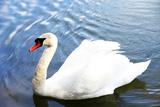 White Swan on a Pond Impressão fotográfica por  Inn_a
