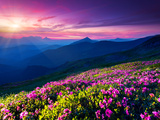 Magic Pink Rhododendron Flowers on Summer Mountain. Dramatic Overcast Sky. Carpathian, Ukraine, Eur Fotodruck von Leonid Tit
