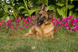 German Shepherd Dog (Female) in Early Autumn Flowers, Geneva, Illinois, USA Photographic Print by Lynn M. Stone