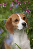 Portrait of Beagle Hound in Dandelions Photographic Print by Lynn M. Stone