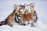 Portrait of Tiger with Snowy Head, Lying in Snow Drift (Captive) Endangered Species Stampa fotografica di Lynn M. Stone