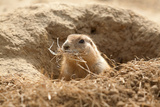 Prairie Dog Photographic Print by  India1