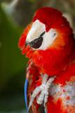 Scarlet Macaw (Ara Macao) Stampa fotografica di Lynn M. Stone