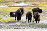 Mature North American Buffalo Expressing Anger Photographic Print by  tab62