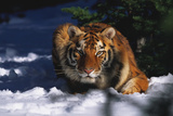 Tiger (Panthera Tigris) Crouching in Snow by Spruce Tree Photographic Print by Lynn M. Stone
