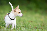 Small Chihuahua Dog Standing on a Green Grass Park with a Shallow Depth of Field Photographic Print by  Kamira