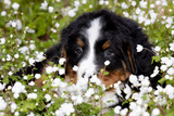 Portrait of Bernese Mountain Dog Pup in Spring Wildflowers (Anemone), Elburn, Illinois, USA Photographic Print by Lynn M. Stone