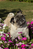Pugs in Autumn Fllowers (Petunias), Geneva, Ilinois, USA Photographic Print by Lynn M. Stone