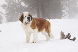 Saint Bernard in Snow by Coniferous Trees, Foggy Mountains of Southern California, USA Photographic Print by Lynn M. Stone