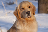 Golden Retriever, Female, Portrait, in Snow at Edge of Woods, Staughton, Wisconsin, USA Stampa fotografica di Lynn M. Stone