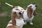 Pair of -Red and White- Basset Hounds on Lawn, Hampshire, Illinois, USA Photographic Print by Lynn M. Stone