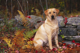 Yellow Labrador Retriever Sitting Among Ferns by Stone Wall, Connecticut, USA Lámina fotográfica por Lynn M. Stone