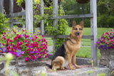 German Shepherd Dog in Late Spring Flowers, Garden, Woodstock, Connecticut, USA Photographic Print by Lynn M. Stone