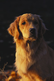 Vertical Portrait of Golden Retriever in Late Afternoon Light, Northern Illinois, USA Photographic Print by Lynn M. Stone