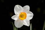 Daffodil in Garden, E. Haddam, Connecticut, USA Photographic Print by Lynn M. Stone