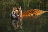 Tiger (Panthera Tigris) Lapping Water While Half-Submerged in Pond (Captive) Endangered Species Photographic Print by Lynn M. Stone
