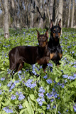 Pair of Doberman Pinschers (Female L Photographic Print by Lynn M. Stone