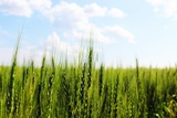 Prarie Wheat Field Photographic Print by Sask Explorer
