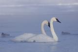 Pair of Trumpeter Swans (Cygnus Buccinator) Swimming in Ice Fog Stampa fotografica di Lynn M. Stone