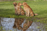 Golden Retrievers (Females and Male on Right) Sitting at Edge of Pool, St. Charles, Illinois, USA Photographic Print by Lynn M. Stone