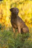 Chesapeake Bay Retriever Retrieving at the Edge of Pond with Autumn Leaf Reflections, Harrisville Photographic Print by Lynn M. Stone