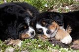 Bernese Mountain Dog Pups (Two) Fotografisk tryk af Lynn M. Stone