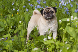 Pug in Virginia Bluebells, Rockton, Illinois, USA Photographic Print by Lynn M. Stone