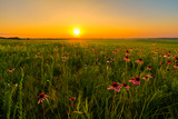 Sunset in A Prairie Field of Purple Coneflowers Photographic Print by  tomofbluesprings