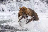 Grizzly Bear (Ursus Arctos) with Salmon in Mcneil River, Alaska, USA Photographic Print by Lynn M. Stone