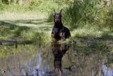 Doberman Pincher Lying in Green Grass and Reflecting into Rain Pool, St. Charles, Illinois USA Photographic Print by Lynn M. Stone