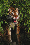 Tiger (Panthera Tigris) Photographic Print by Lynn M. Stone