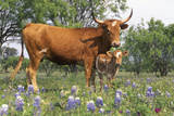 Texas Longhorn Cow with Calf, Texas Hill Country, Burnet, Texas, USA Photographic Print by Lynn M. Stone