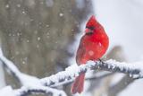 Northern Cardinal (Cardinalis Cardinalis) in Snow Storm, St. Charles, Illinois, USA Reproduction photographique par Lynn M. Stone