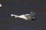 Trumpeter Swan (Cygnus Buccinator) in Flight Impressão fotográfica por Lynn M. Stone