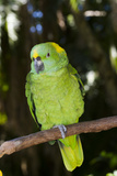 Yellow-Naped Amazon Parrot (Amazona Auropalliata) Stampa fotografica di Lynn M. Stone