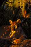 Florida Panther Lying on Oak Limb Underneath Spanish Moss and Backdrop of Palmetto Photographic Print by Lynn M. Stone