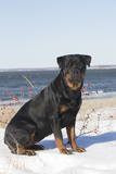 Rottweiler on Snowy Upper Beach by a Long Island Sound Beach, Madison, Connecticut, USA Photographic Print by Lynn M. Stone