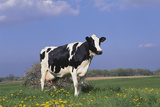 Holstein Cow from Ground Level in Dandelion-Studded Pasture, Spring, Marengo, Illinois, USA Photographic Print by Lynn M. Stone