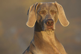 Weimaraner Sitting Along Side Pond with Reflections of Autumn Leaves in Early Morning Mist Photographic Print by Lynn M. Stone