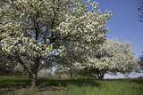 Flowering Fruit Trees in May, Lisle, Illinois, USA Photographic Print by Lynn M. Stone