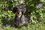 Dachshund (Wire-Haired, Standard Variety) under Rose Bush, Gurnee, Illinois, USA Photographic Print by Lynn M. Stone