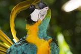 Blue and Gold Macaw Preening, Captive- S. America Stampa fotografica di Lynn M. Stone