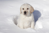 Labrador Retriever Puppy (10 Weeks Old) Sitting in Snow, St. Charles, Illinois, USA Photographic Print by Lynn M. Stone