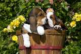 Basset Hound Pups in Flowers, Burlington Photographic Print by Lynn M. Stone