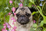 Portrait of Pug in Bleeding-Hearts, Rockton, Illinois, USA Photographic Print by Lynn M. Stone